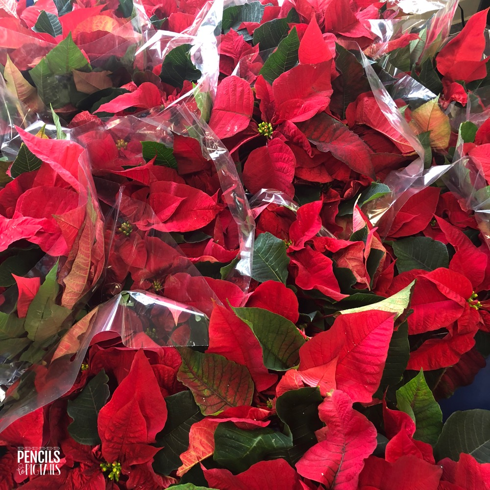 Poinsettias to teach about kindness